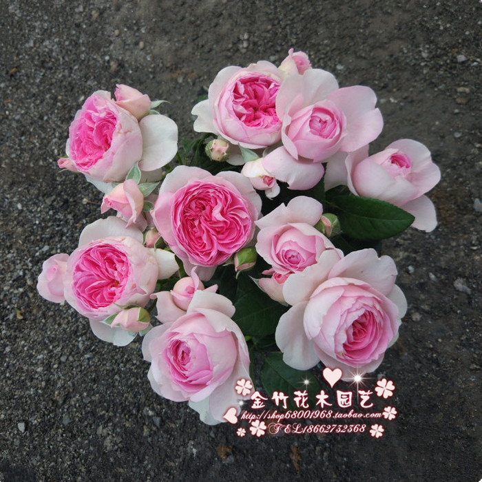 Sun and moon my heart cut flower baozi rose seedling erect without drooping head shrub garden balcony flower potted plant