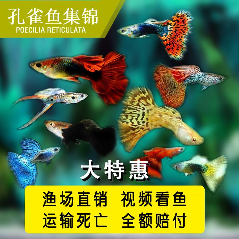 活体淡水小型热带精品观赏孔雀鱼(用1元券)