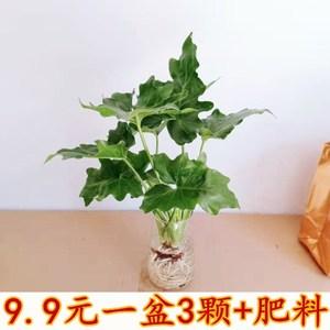 春羽春雨绿植物盆栽净化空气卫生间浴室植物客厅喜阴水培盆景花卉