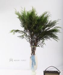 常绿乔木扁柏树侧柏树优良园林绿化网红鲜切植物ins风顺丰包邮