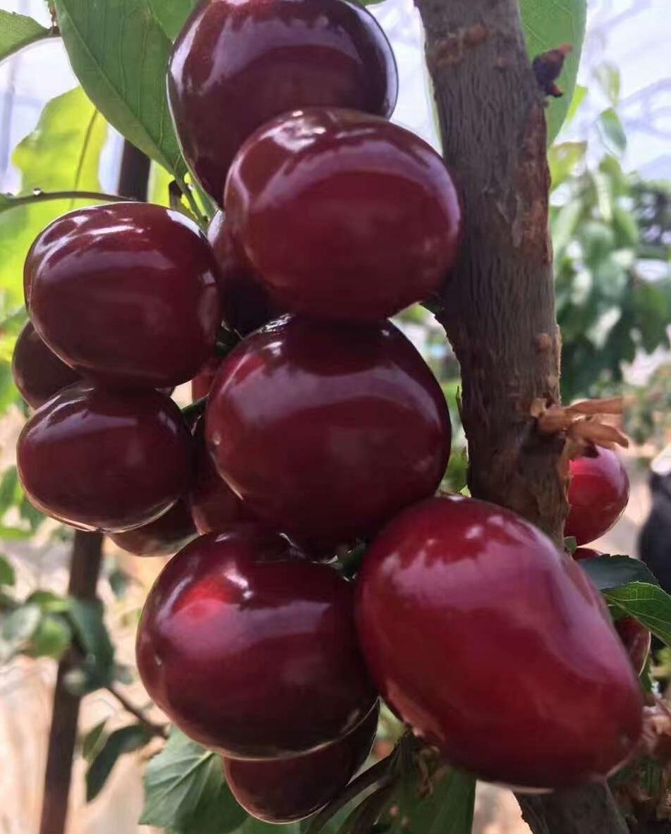 露天大连樱桃美早-自家果园-孕妇水果-梅早 5斤包邮