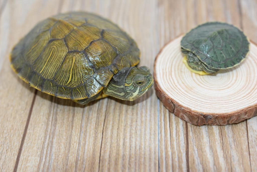 小乌龟 龟活体宠物龟情侣龟乌龟水龟龟 乌龟活物包邮图片