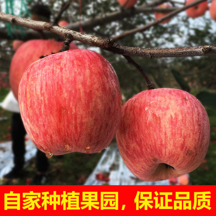 Apple and fruit fresh in season full box Shaanxi Baishui Apple Red Fuji crisp sweet juicy 10 jin non Luochuan apple