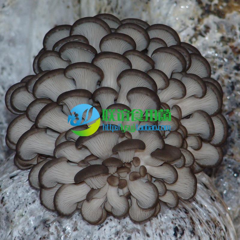 联谊食用菌菌种 秋冬上市 灰褐平菇 二级种【草优2号】 原种