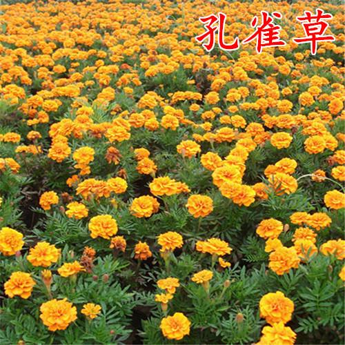 孔雀草种子混色四季易活小万寿菊花籽观赏阳台盆栽室外花种子包邮