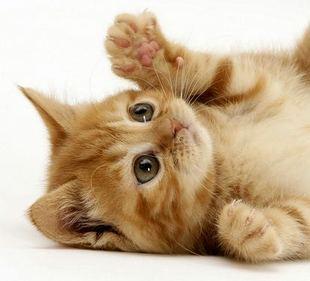 猫咪活体小猫咪活体土猫家猫幼猫狸花猫橘猫宠物猫田园家养猫