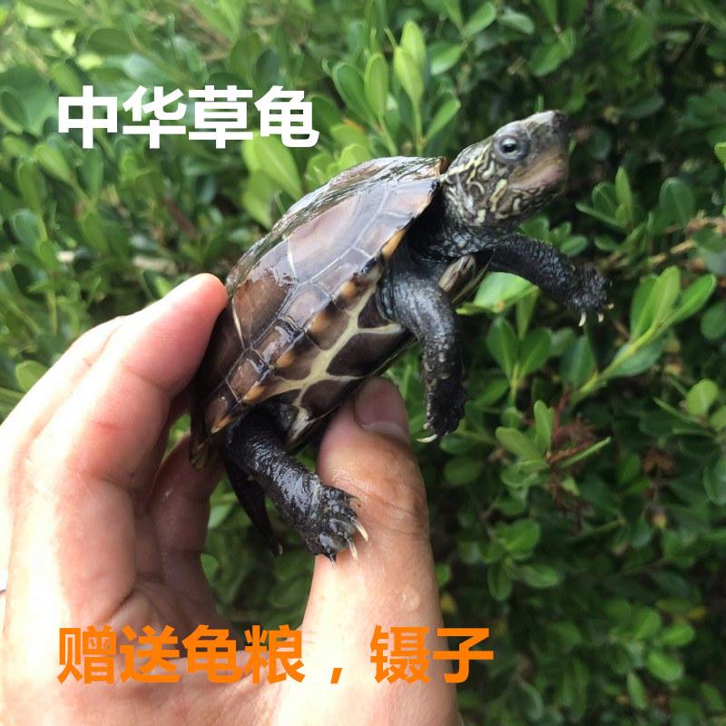 中华草龟苗 活体宠物乌龟水龟 小草龟苗 大乌龟活体 全品
