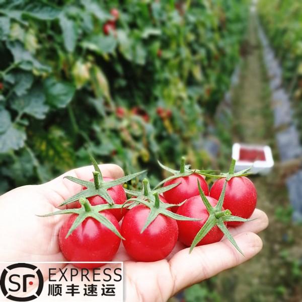 圣女果非千禧新鲜水果脆甜多汁10斤包邮现摘现发西红柿樱桃小番茄