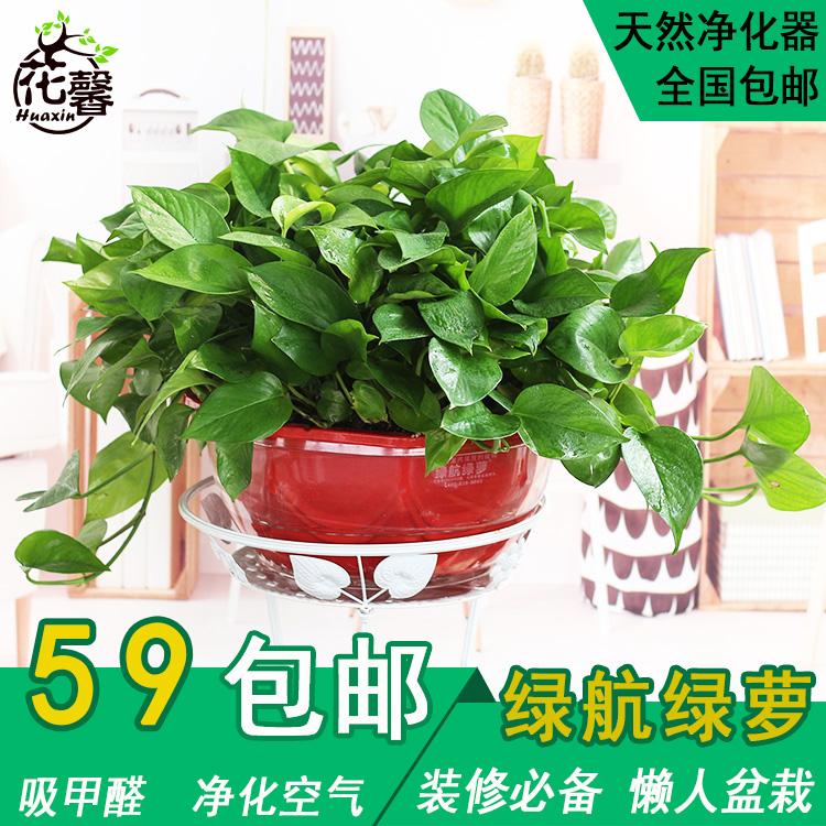 绿萝盆栽植物室内园艺植物水培绿航吸甲醛绿植水培植物花卉绿萝花