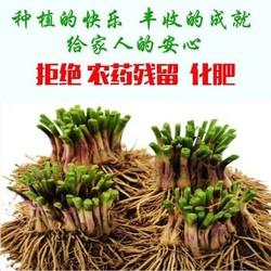 新韭菜根苗现挖紫根红根韭菜根种子籽家庭阳台种菜四季盆栽蔬菜苗