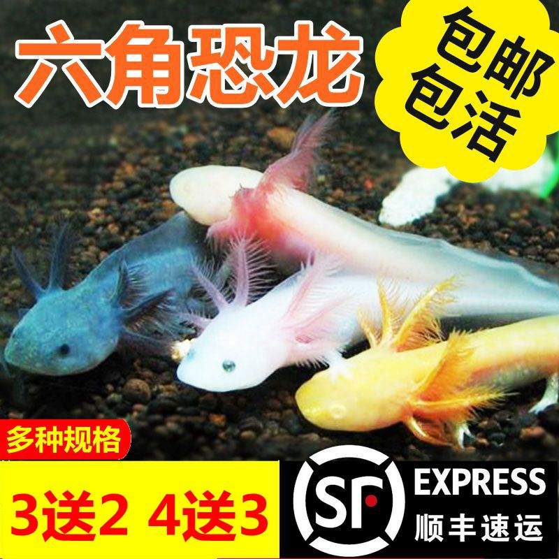 顺丰包邮六角恐龙鱼淡水冷水蝾螈金鱼锦鲤宠物活体热带观赏鱼活体