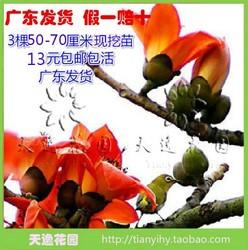 木棉花苗木棉苗木棉花树苗盆栽地栽3棵50-70厘米13元包邮广东发
