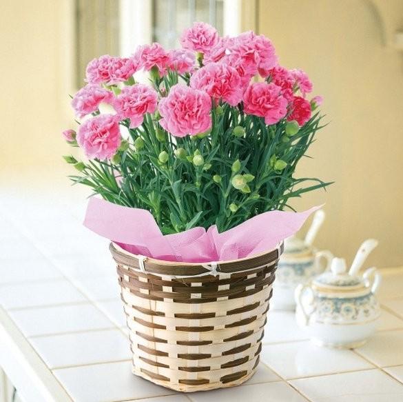 康乃馨种子四季种易活开花不断花种子花草室内阳台易种盆栽观花卉