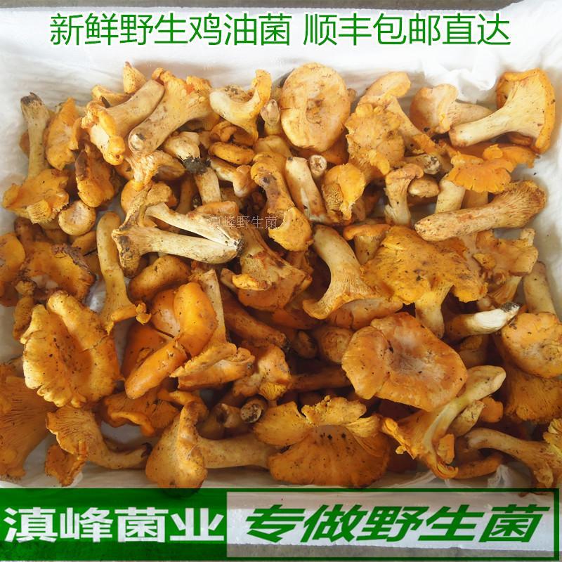 18年新鲜野生鸡油菌特级黄丝菌云南特产蘑菇富含维生素包邮味鲜香