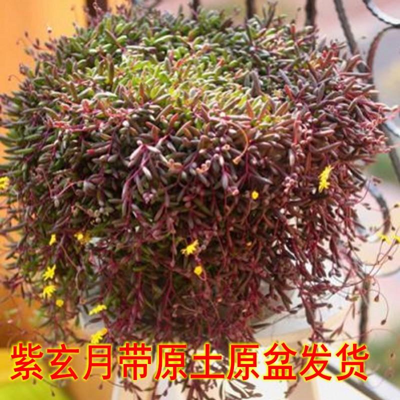 多肉植物紫玄月珍珠佛珠情人泪吊兰花卉盆栽办公室室内绿植防辐射热销40件限时秒杀