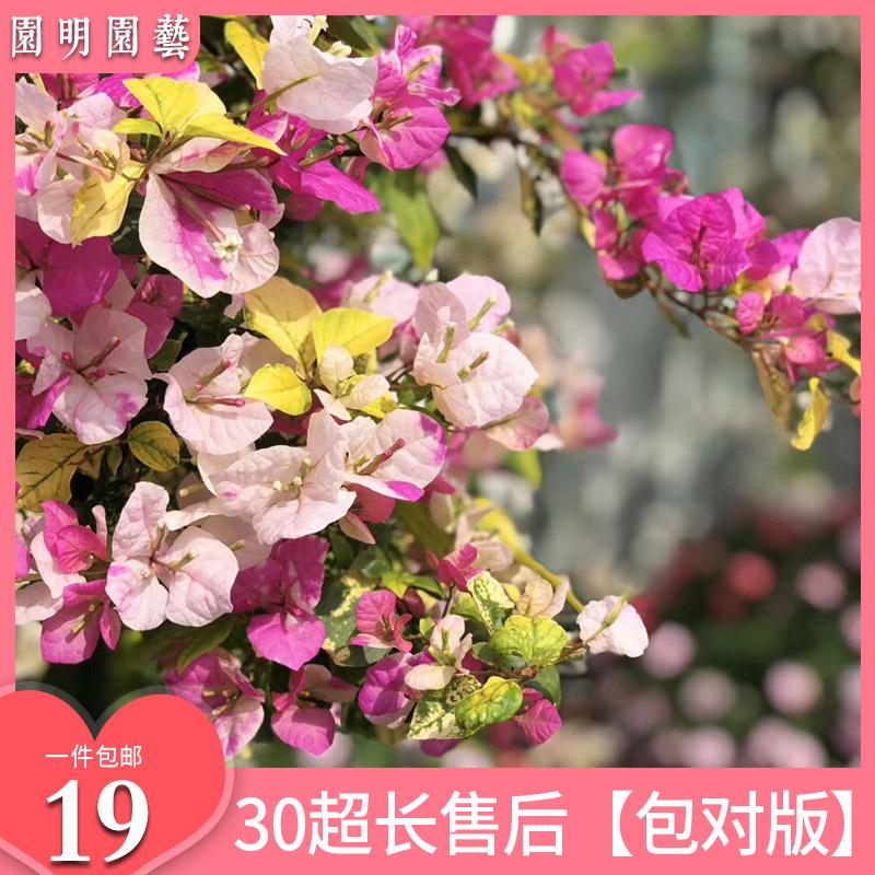 三角梅盆栽苗爬藤带花发货四季小苗耐寒老桩树苗庭院阳台室内盆景
