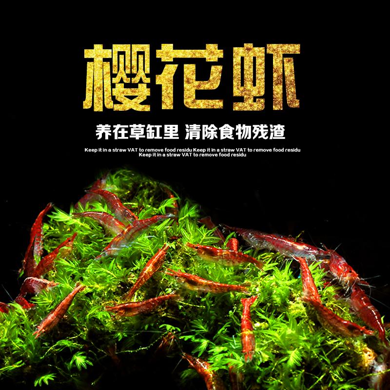 活体黑壳水晶樱花除藻极火观赏虾