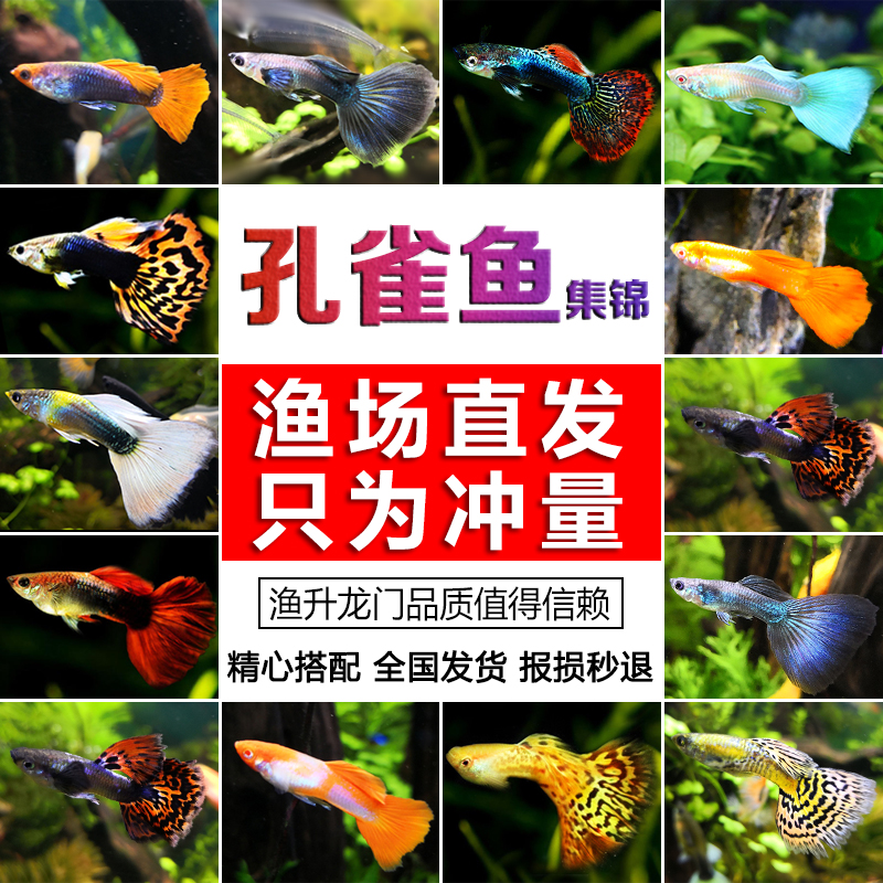 活体凤尾鱼繁殖胎生小型热带孔雀鱼9.00元包邮