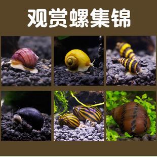鱼缸除藻螺活体宠物观赏螺除苔除鱼缸藻黄金螺斑马螺黑金刚杀手螺