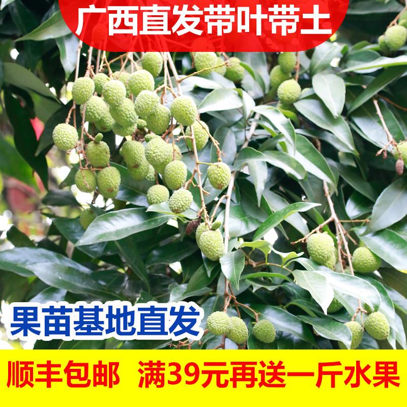 四季の果物の苗釈迦の果樹の苗台湾のパイナップルの釈迦の果実の苗はその年仏陀の果実の番のレイシの果実の苗を結果します。