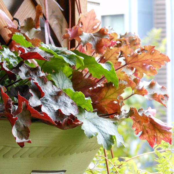 花小胖胖多肉植物耐寒宿根庭院植物花园调色板矾根花苗带盆土发货