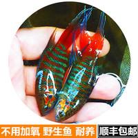 中國斗魚活體普叉野生魚淡水旁皮婆花手巾好養小型冷水寵物觀賞魚