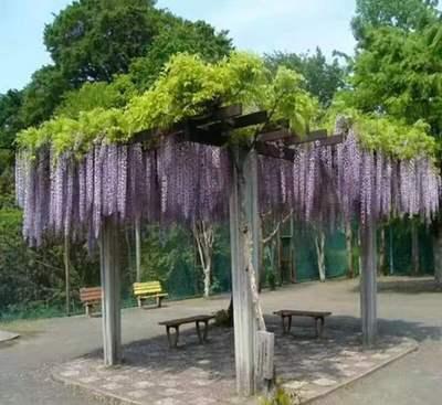 350畝日本長穗花紫藤苗 三大色系 紫色 白色 粉色 一棵也包郵