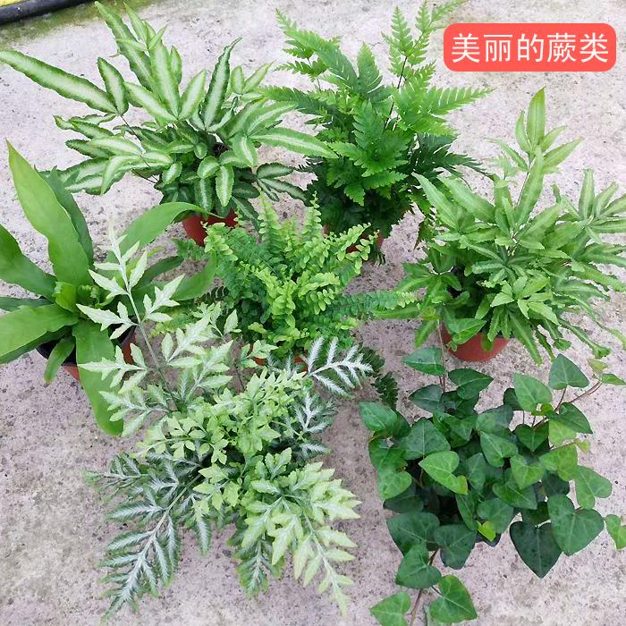 蕨类植物花卉盆景基地出货铁线蕨凤尾蕨波斯顿厥室内耐阴盆栽植物