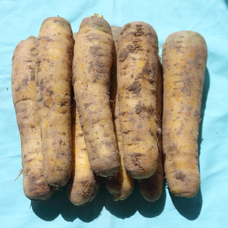 【想妮】新疆黄胡萝卜手抓饭新鲜蔬菜5斤航空包邮宝宝辅食