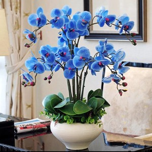 蝴蝶兰花苗 室内盆栽花卉含盆