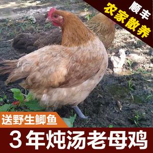 3年正宗農家散養土雞農村老母雞公雞笨雞走地雞烏雞蘇北煲湯鮮美