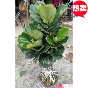琴葉榕綠植盆栽1.2-2米一物一拍棒棒糖型可挑選帶盆栽好室內植物