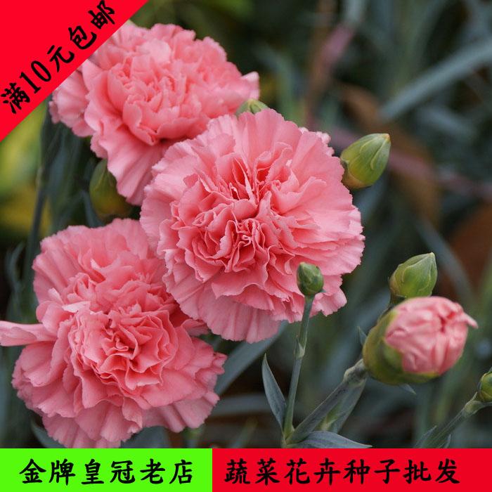 康乃馨种子 盆栽四季易种花卉种子 家庭阳台花园康乃馨籽花种子