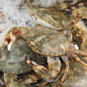 海鲜鲜活水产批发 新鲜石蟹/花盖蟹/花梭子蟹/海螃蟹 花蟹大青蟹