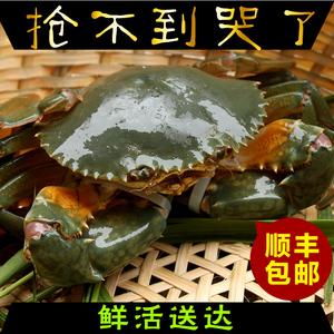 【滩涂人家】东海大青蟹 现捕现发 锯缘青蟹 红鲟 包活 顺丰包邮