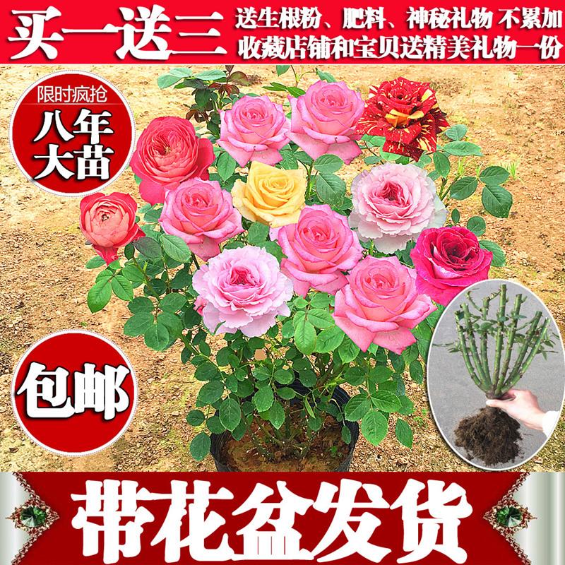 Роз рассада четыре сезона цветение большой цветок зеленый завод комнатные комнатный бассейн цветы часы цветок суд больница балкон роза китайская роза