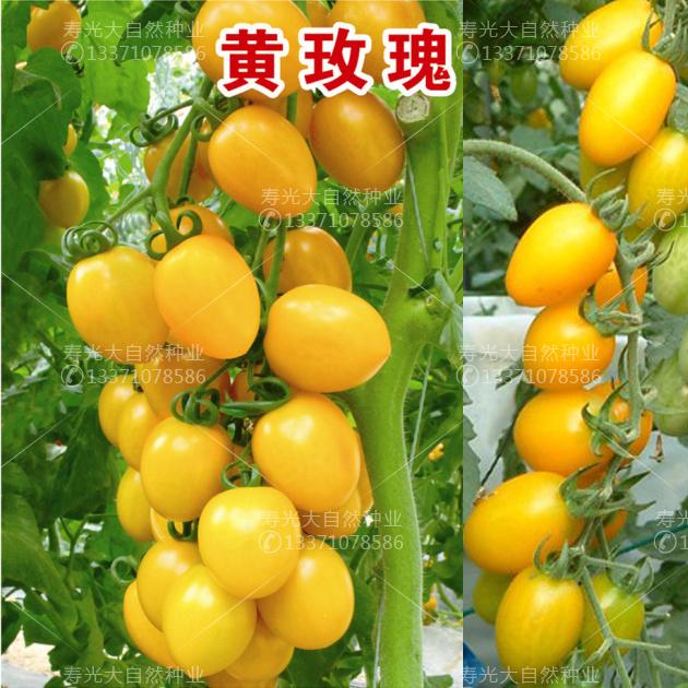 台湾引进黄玫瑰黄樱桃番茄种子圣女果迷你西红柿种子水果番茄基地