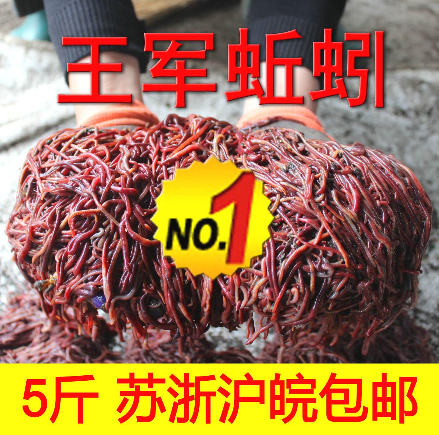 王军蚯蚓放生江浙沪皖包邮斤5活体红蚯蚓鱼饵散装