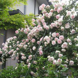 天时双喜藤本月季花苗庭院爬藤植物花卉绿植盆栽蔷薇玫瑰欧月花苗