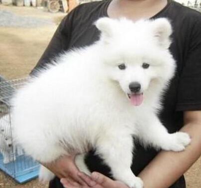 纯种宠物犬中型犬银狐幼犬出售 支付宝交易可上门挑选