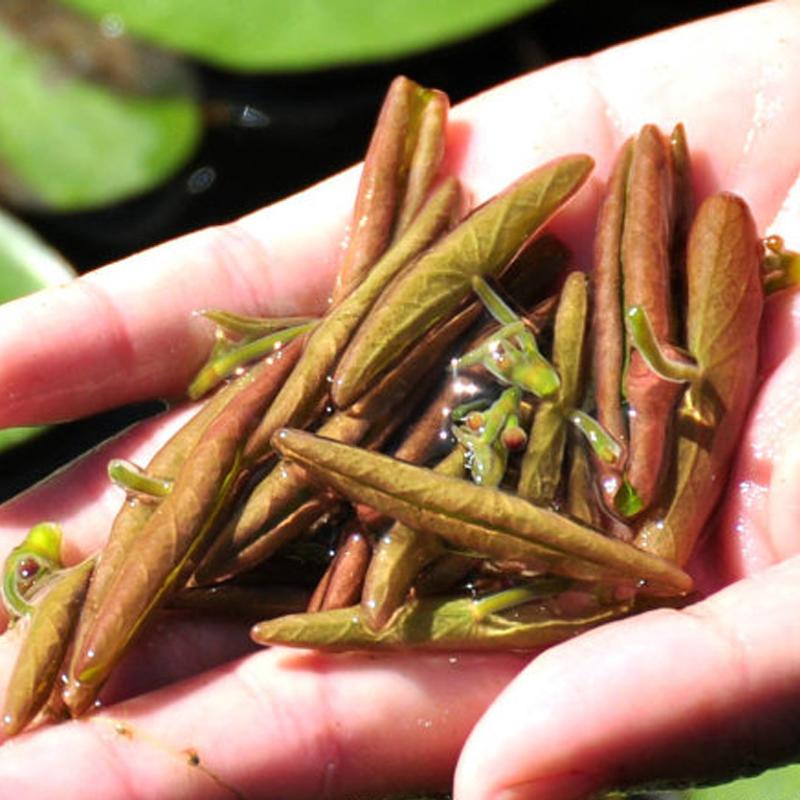 利川莼菜2瓶装 马蹄菜净菜绿色新鲜野生蔬菜湖北恩施利川土特产