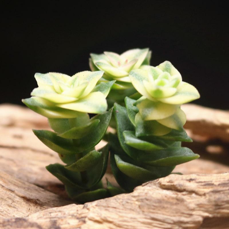 十字星锦欧版钱串 吸财树老桩半球乙女盆栽玉坠多头群生多肉植物