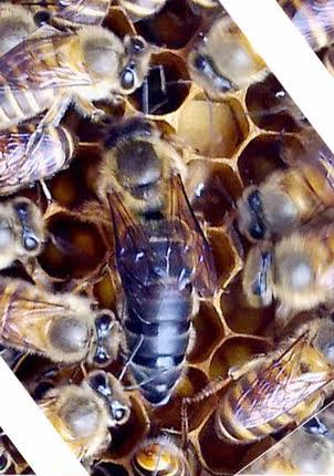 中华蜂 土蜂 蜜蜂种王 新产卵蜂王 中蜂 人工授精蜜蜂种蜂王