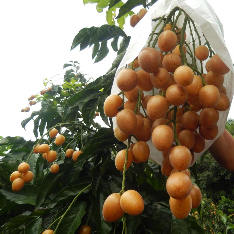广东正宗郁南黄皮果无核鸡心黄弹子现货现水果新鲜 包邮当季夏季