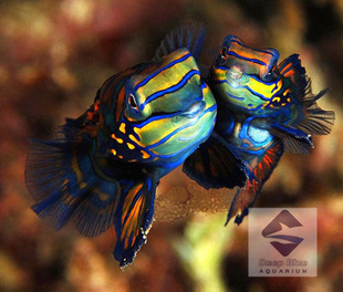 Deep blue sea family colorful frog marine fish live wholesale Coral