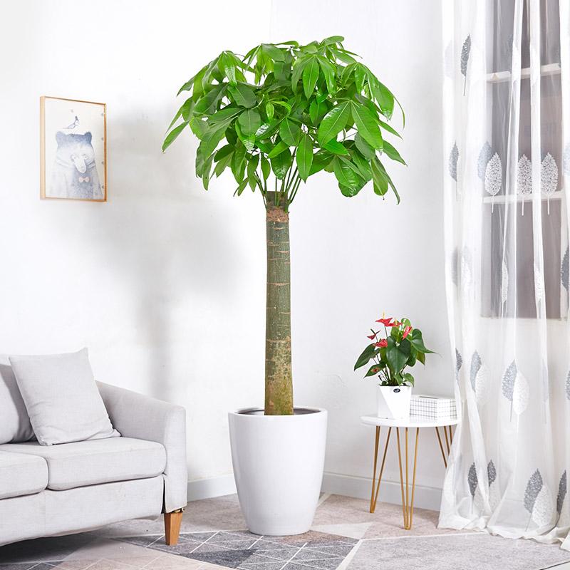 发财树大盆栽 单杆大树桩办公室家居招财
