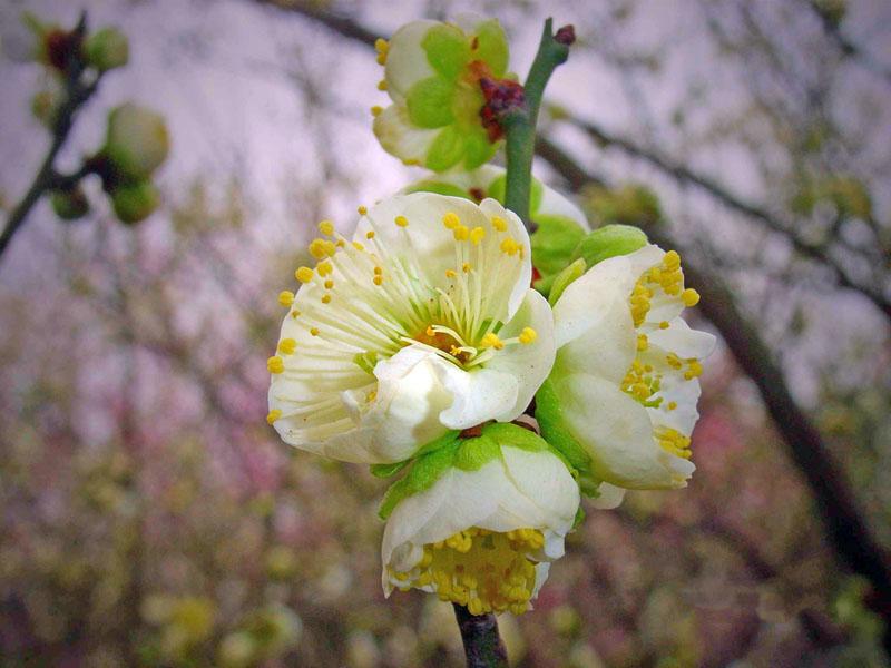 庭院植物花卉梅花 红梅 乌梅 绿梅 美人梅 素心腊梅树苗盆栽 包邮