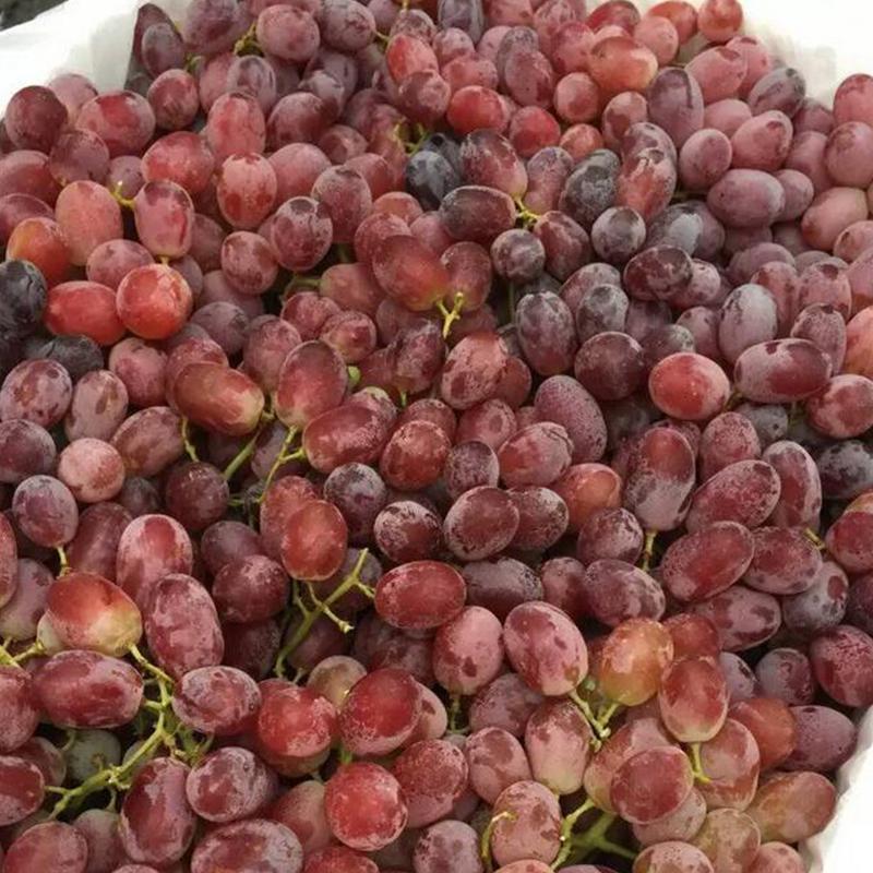 现摘现发红提无核无籽美人指提子红宝石葡萄当季新鲜水果3斤包邮