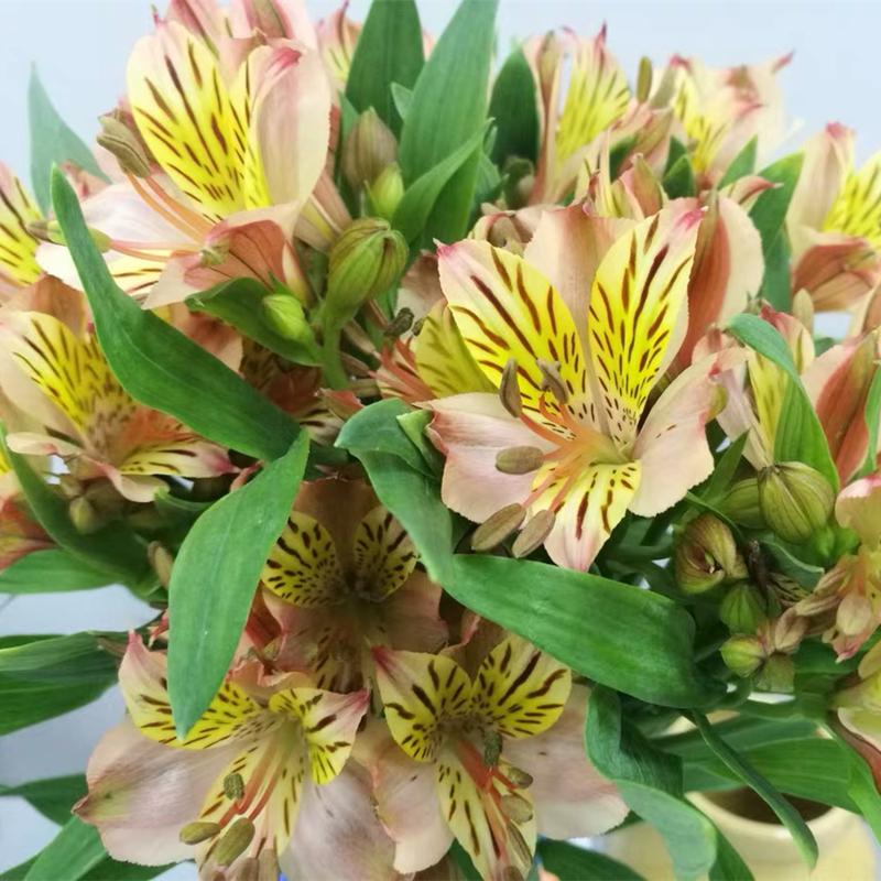 水仙百合六出花云南鲜花批发花家庭生活用花办公室鲜花全国速递