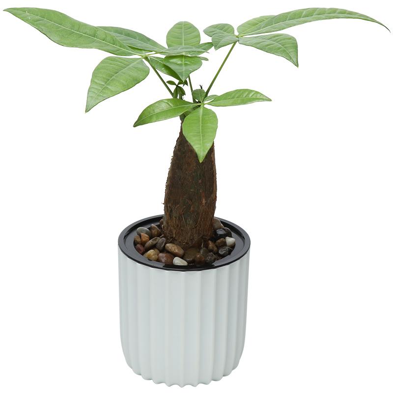 富贵竹发财树栀子花卉盆栽绿萝办室内外多肉植物水培绿植芦荟文竹